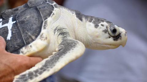 bal-bs-md-turtle-release-p2-20150727.jpg